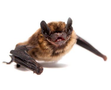 bat removal westchester