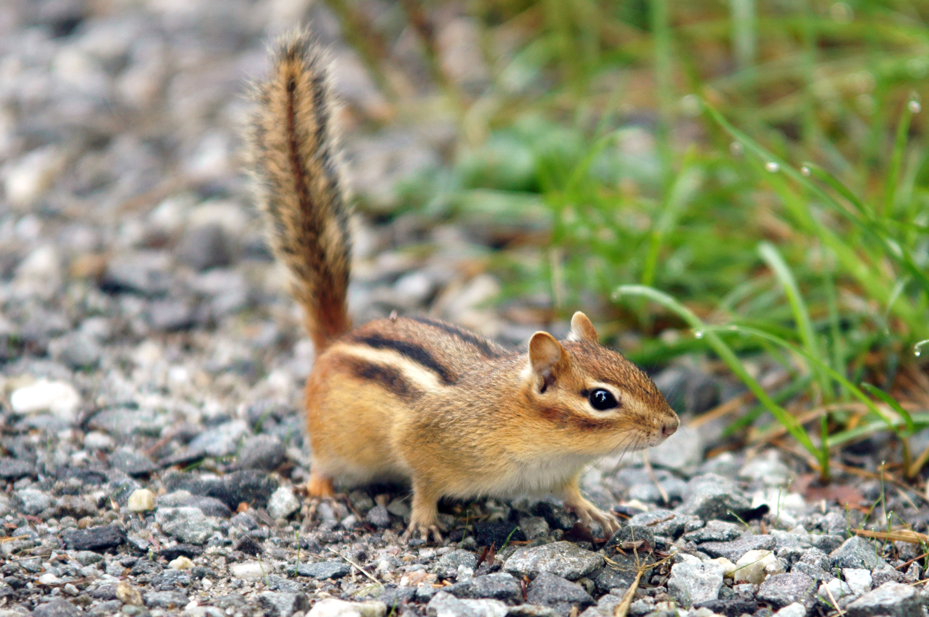 how to kill chipmunks with poison