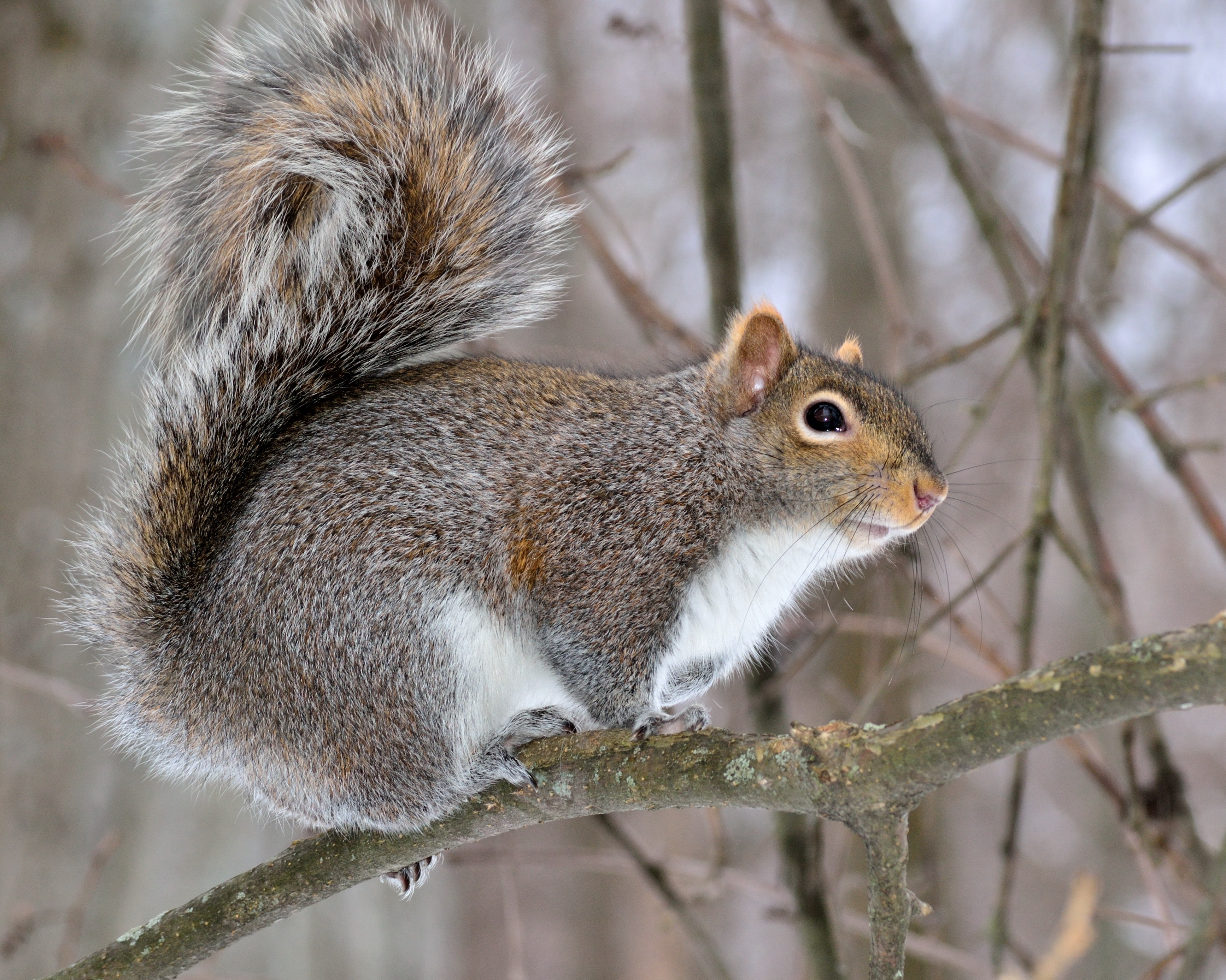How Squirrels Get Into Your Home Pinnacle Wildlife Control